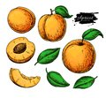 Apricot vector drawing set. Hand drawn fruit and sliced pieces. Summer food illustration. Royalty Free Stock Photo