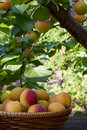 Apricots in a basket beautiful ripe among the branches of the apricot tree Royalty Free Stock Images