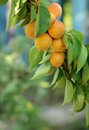 Apricots on branch ripe hanging in a garden Stock Images