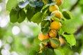 Apricots branch. Ripe otange apricot fruits macro view, soft focus Royalty Free Stock Photo