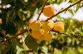 Apricots branch of tree with apricot fruit Royalty Free Stock Photography
