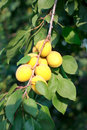 Apricots on a branch yellow tree Stock Images
