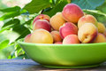 Apricots in a ceramic bowl beautiful ripe among the branches of the apricot tree Royalty Free Stock Photo