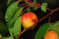 Apricots ripe after rain with water drops Royalty Free Stock Image