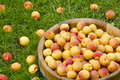 Apricots in a wooden bowl beautiful ripe on the grass Stock Photos