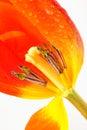April Tulip Stock Photos