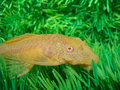 Aquarian catfish (Ancistrus dolichopterus). Stock Photos