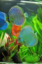 Aquarium - blue tropical discus fish Stock Images