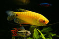 Aquarium color fish in planted freshwater Royalty Free Stock Photo
