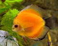 Aquarium fish 16 Stock Images