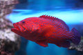 Aquarium fish cephalopholis miniata red and blue water Royalty Free Stock Photo