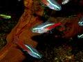 Aquarium fish from characidae family cheirodon axelrodi Stock Photography