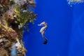 Aquarium fish seahorse Royalty Free Stock Photo