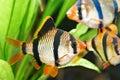 Aquarium fishes barbus puntius tetrazona in Royalty Free Stock Photos