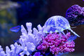 Aquarium jelly fish in it s so cute Stock Image