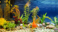 Aquarium Native Gold Fish Royalty Free Stock Photo