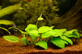 Aquarium with plants blooming anubias plant in the Royalty Free Stock Photography