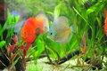 Aquarium - tropical discus fish Royalty Free Stock Photos