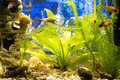 Aquarium vegetation and exotic fishes in an Stock Photo