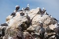 Aquatic birds at paracas national reservation or the peruvian galapagos at the reserve there are the islas ballestas islands which Stock Image