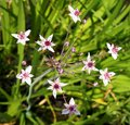 Aquatic plant Flowering rush Royalty Free Stock Photo