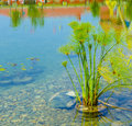 Aquatic plant water grows in the lake Royalty Free Stock Image