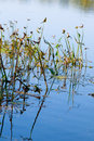 Aquatic plants Stock Images