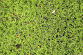 Aquatic plants green on a pond Stock Images