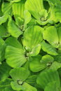 Aquatic plants green water water lettuce growing at outdoor Royalty Free Stock Image