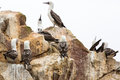 Aquatic seabirds coast at paracas national reservation or peruvian galapagos ballestas islands peru south america this birds h Stock Photography