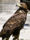 Aquila Chrysaetos Royalty Free Stock Photo