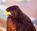 Aquila nipalensis steppe eagle profile Stock Photography