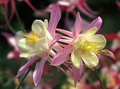 Aquilegia. Royalty Free Stock Photo