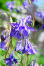 Aquilegia Royalty Free Stock Photography