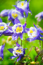 Aquilegia (Columbine) Royalty Free Stock Photography