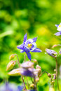 Aquilegia (Columbine) Stock Photography