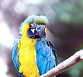 Ara ararauna parrot - portrait Royalty Free Stock Photography