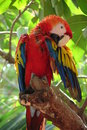 Ara macaw in tree corolful scarlet or is a large red yellow and blue south american parrot restricted to the tropical forest of Royalty Free Stock Photos