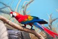 Ara parrot beautiful photo of tropical macao or scarlet macaw Stock Image