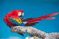 Ara parrot beautiful photo of tropical macao or scarlet macaw Stock Photo