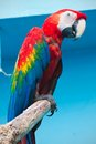Ara parrot beautiful photo of tropical macao or scarlet macaw Stock Photography