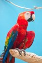 Ara parrot beautiful photo of tropical macao or scarlet macaw Royalty Free Stock Photography