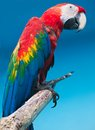 Ara parrot beautiful photo of tropical macao or scarlet macaw Royalty Free Stock Photo