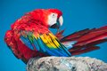 Ara parrot beautiful photo of tropical macao or scarlet macaw Royalty Free Stock Photos