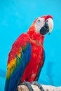 Ara parrot beautiful photo of tropical macao or scarlet macaw Stock Photos