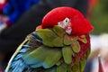 Ara parrot breed Royalty Free Stock Photo