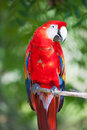 Ara parrot Royalty Free Stock Photo