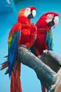 Ara parrot couple of cute tropical parrots macao or scarlet macaw Royalty Free Stock Photo