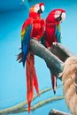 Ara parrot couple of cute tropical parrots macao or scarlet macaw Stock Photo