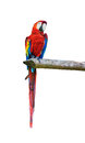 Ara parrot over white background colorful Royalty Free Stock Photos